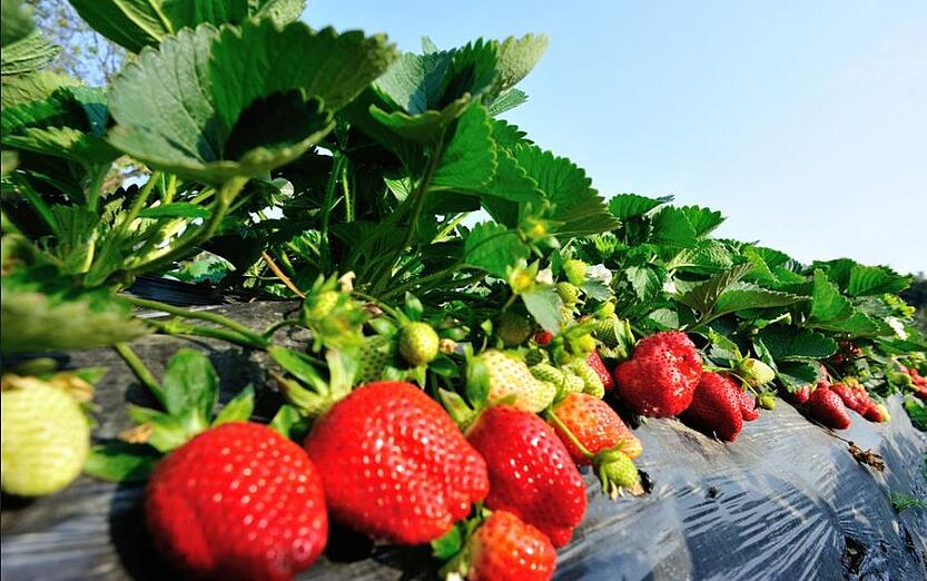 The best tasting strawberries in the world?
