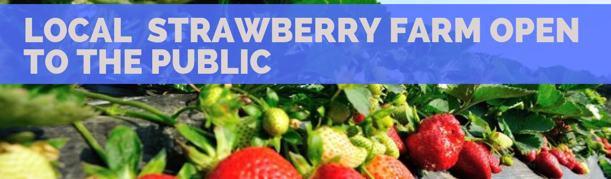 Local strawberry farm Strawberry Springs is open to the public-414262-edited