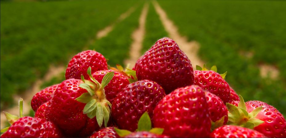 Yarra Valley farm gates - delicious strawberries at Strawberry Springs